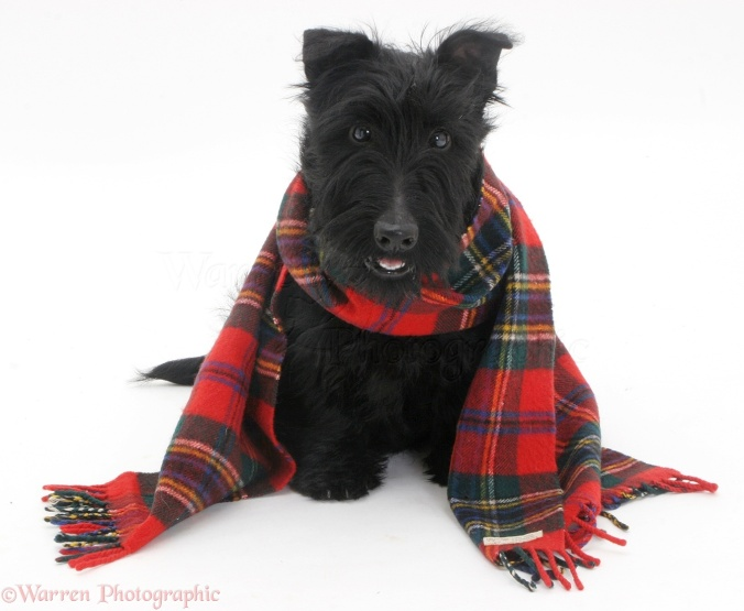 Scottish Terrier, Angus, 4 months old, with a tartan scarf on